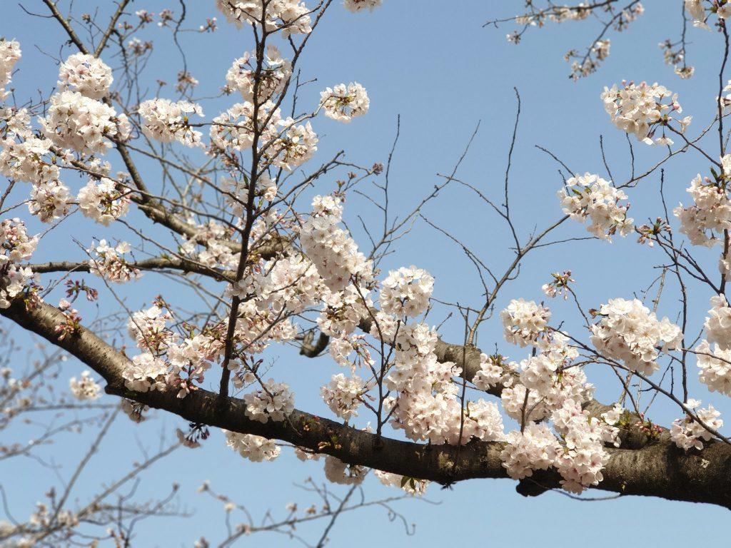 Ý nghĩa Hoa Anh Đào-quốc hoa của người dân Nhật Bản